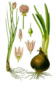 Illustration_Allium_schoenoprasum0_clean
